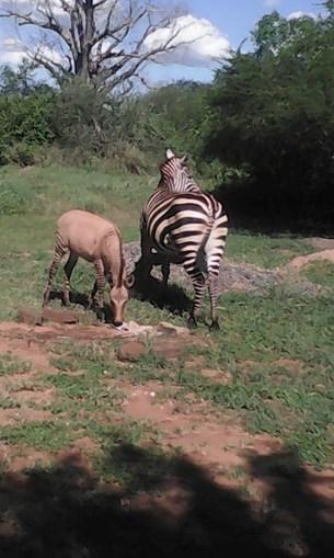 Zebra dá à luz cria de burro após 'relação amorosa' com animal da comunidade vizinha